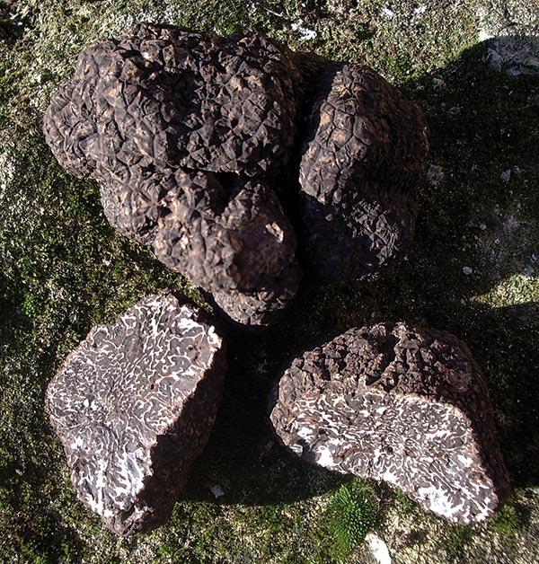 La truffe noire (tuber melanosporum).