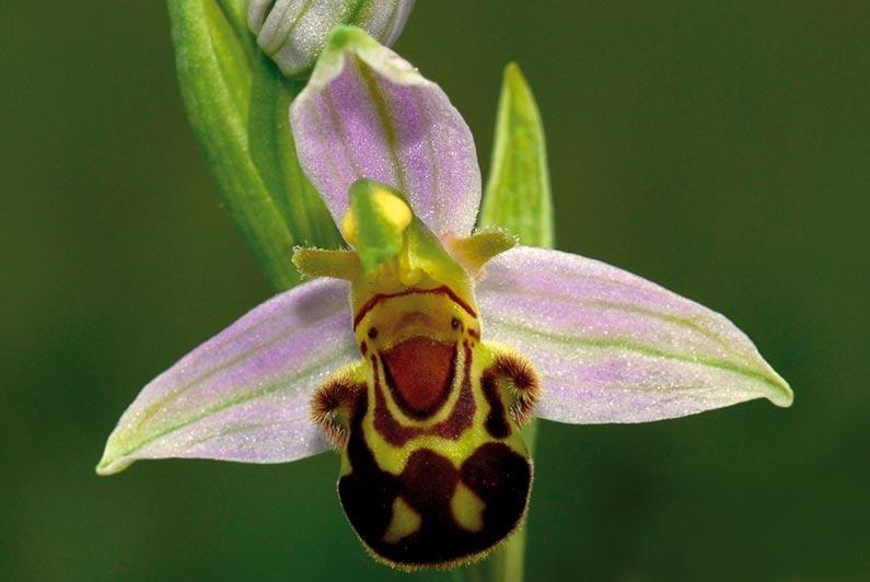 orchidee sauvage paca