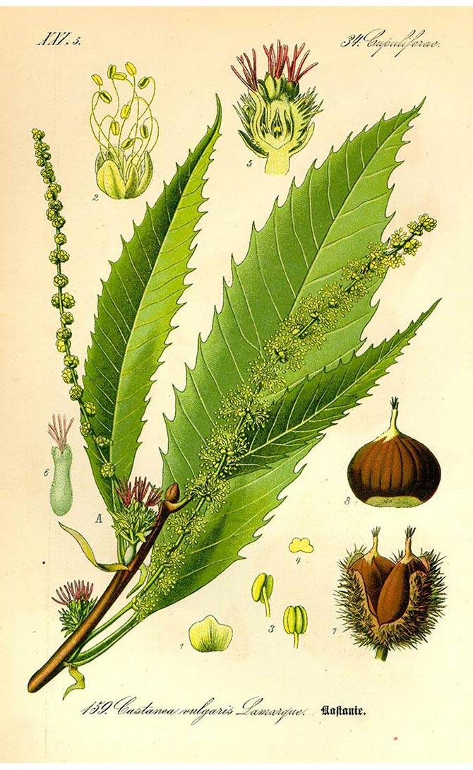Planche botanique de la chataîgne (Castanea sativa)