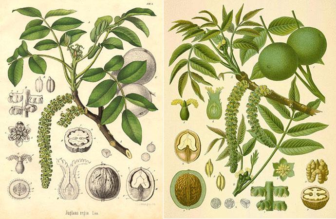 juglans-regia-botanique
