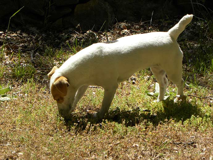 cavage de la truffe avec un chien truffier