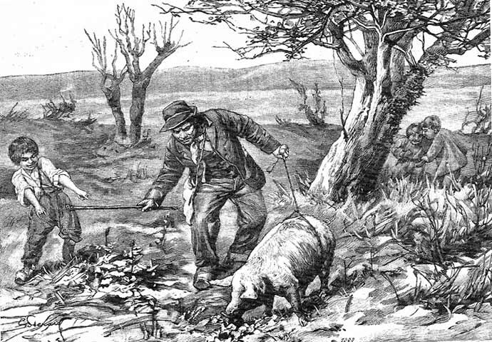 recolte des truffes en perigord avec un cochon truffier