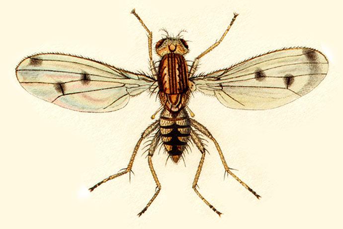 cavage de la truffe à la mouche truffigene helomyza