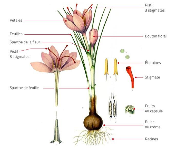 Croquis du Crocus sativus, réalisé à partir l'illustration botanique du Kohler's Medicinal Plants (1887)
