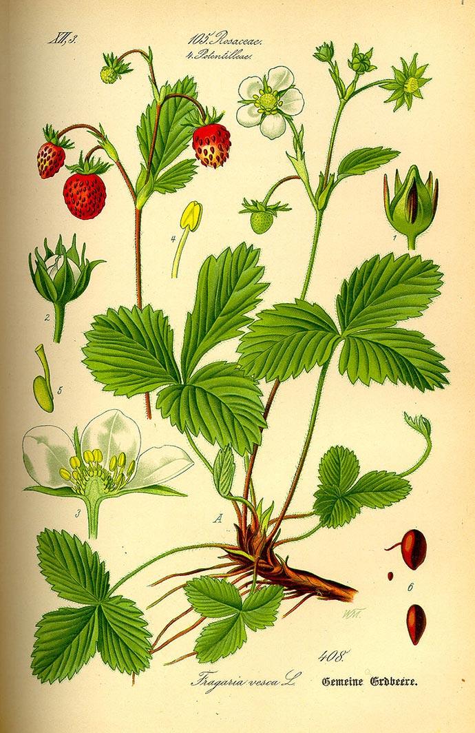 Une planche botanique du fraisier (fragaria-vesca)