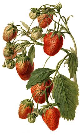 Un pied de fraisier (Strawberry Watercolor)