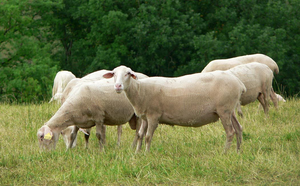 Histoire de l'élevage ovin en Périgord