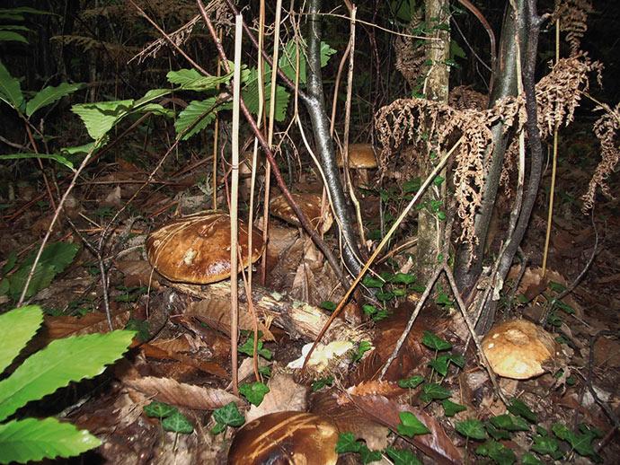 Après que la terre aie fleurie sortent les cèpes du Périgord… parfois vraiment bien cachés !