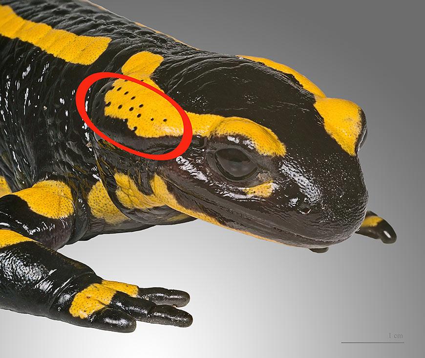 Les glandes parotoïdes de la salamandre tachetée peuvent libérer des sécrétions toxiques