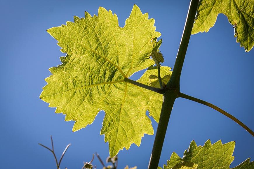 Une histoire de la viticulture en Périgord sous l'Ancien Régime, d'après le manuscrit du marquis André Alain de Fayolle