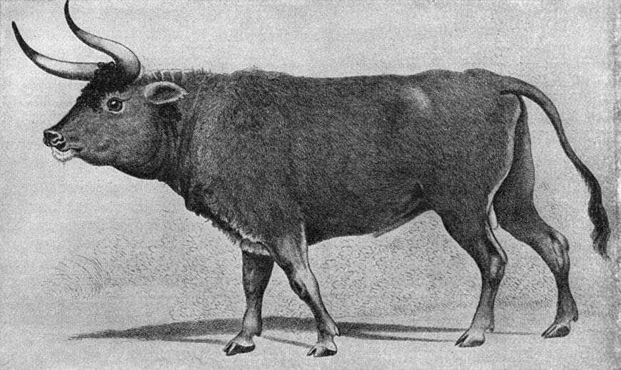 Dessin d'un aurochs sauvage